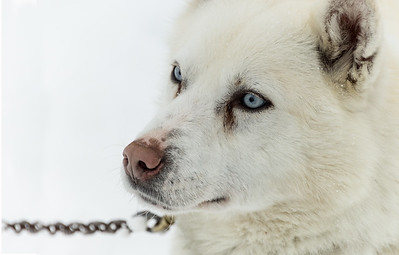 sled dog, Churchill, Manitoba, Canada