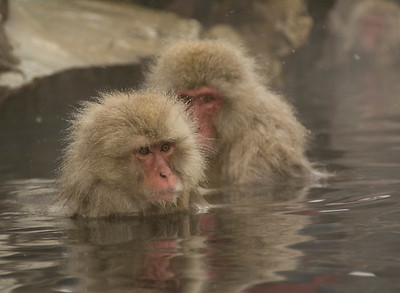 Snow Monkey, Jigokudani Monkey Park, Japan