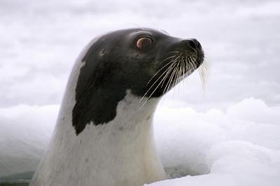 Harp Seal, PEI, Canada
