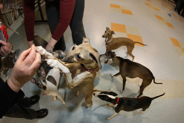 Italian Greyhound Playdates