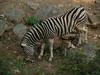 Zebra - Philadelphia Zoo