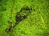 Alligator hiding in bog, Hunting Island SC