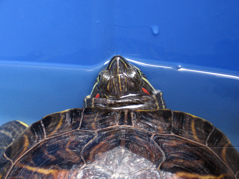 Red-eared Slider Turtle in Blue (Photo by Lydia Yoder)