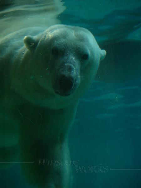 Polar Bear - Philadelphia Zoo
