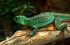 Green iguana (?)