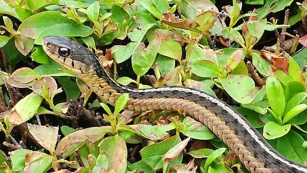 Common garter or gardener snake (Thamnophis sirtalis) on bush In Quakertown, PA  - 07/15/14   [FxSS]