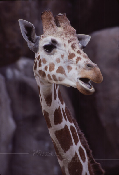 """""""Singing"""" Giraffe!"""