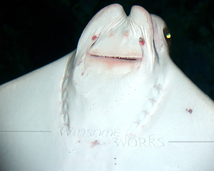 Cownose ray from underside (Galveston Aquarium)