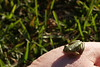Tiny frog we found in rest room by Galveston bay (crop of previous)