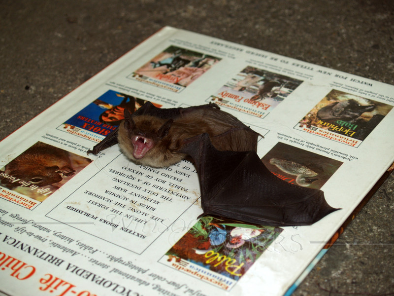 Little Brown Bat that climbed into our bathroom one morning
