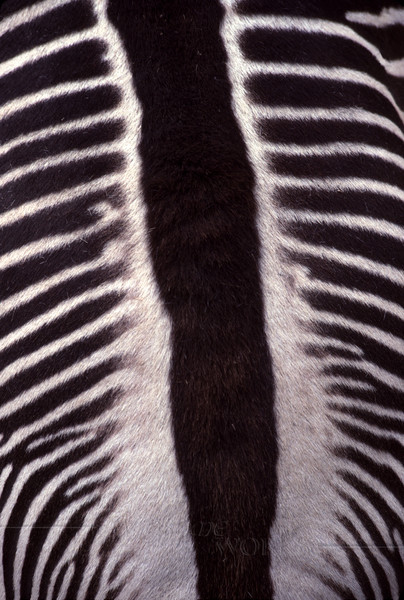 Back of a Zebra seen from above; detail of striped coat