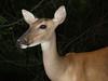 Deer at Hunting Island State Park
