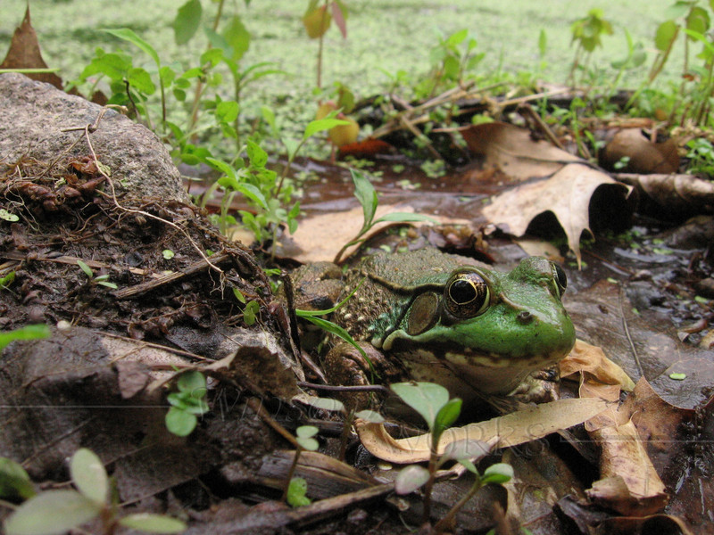 Green Frog in Marsh, Bowman's Hill  (Lithobates clamitans)