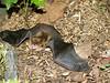 Little Brown Bat, PA