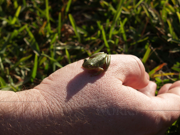 Tiny frog we found in rest room by Galveston bay
