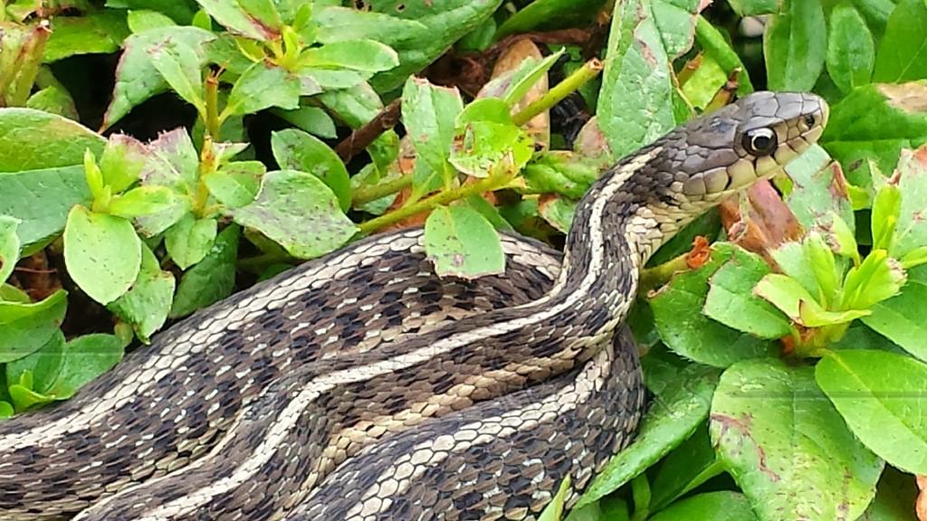 Common garter or gardener snake (Thamnophis sirtalis) coiled on bush In Quakertown, PA  - 07/15/14