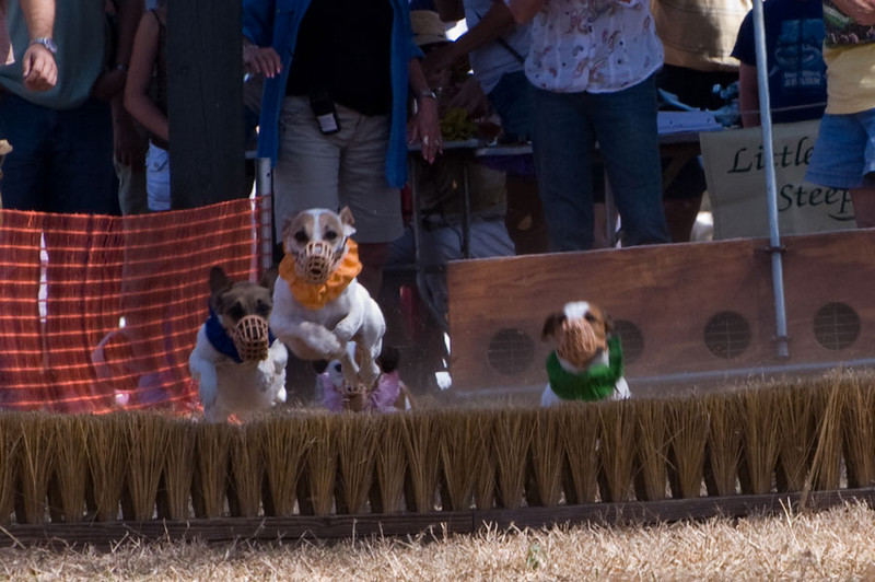 Orange dog is in the lead over hurdle 1 with blue dog in hot pursuit