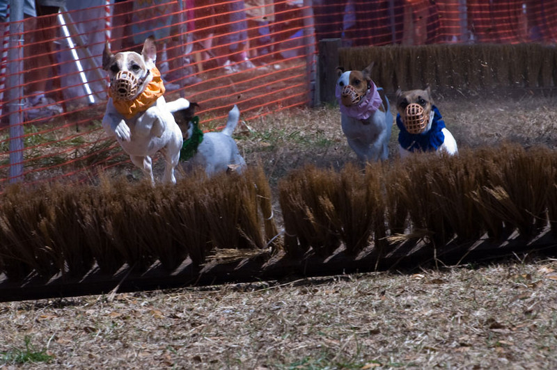 Orange dog lengthens his lead over the second hurdle. Blue dog is fighting to keep up.