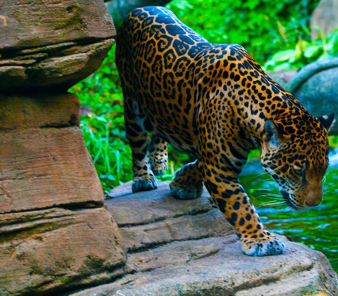 Junior, Jaguar