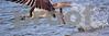 DSC_5406 Osprey w Fish 4x12