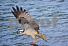 DSC_5407 Osprey w Fish wings up 8x12
