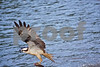 DSC_5407 Osprey w Fish wings up 10x15