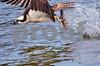DSC_5406 Osprey w Fish 6x9