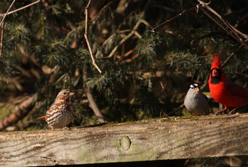 Fox Sparrow, White-crowned Sparrow & Northern Cardinal<br /> Yard birds --  Harrisonburg, VA 1-2-10