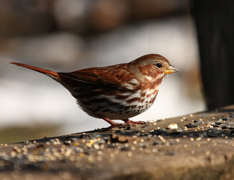 Fox Sparrow<br /> 1/3/10