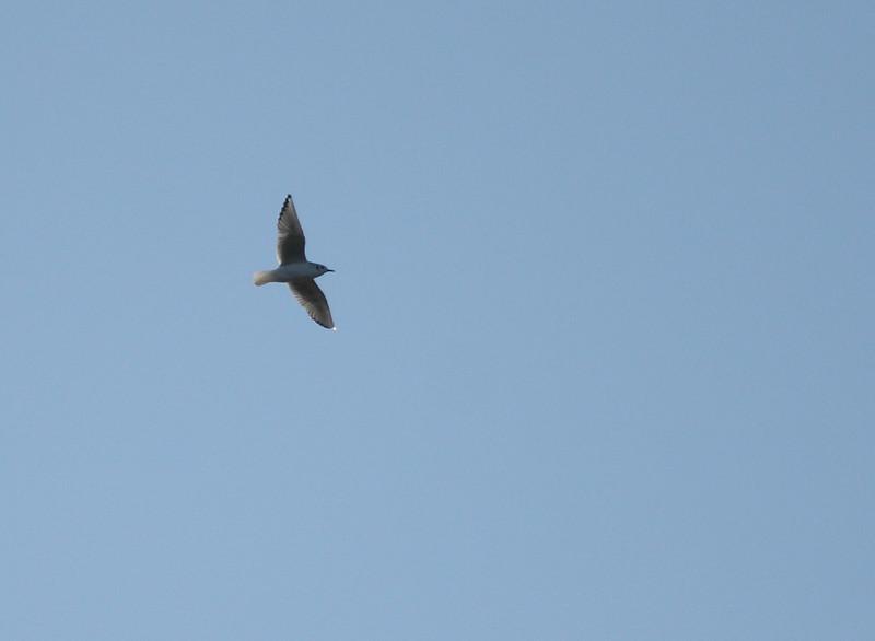 Bonarparte's Gull<br /> 1/3/10