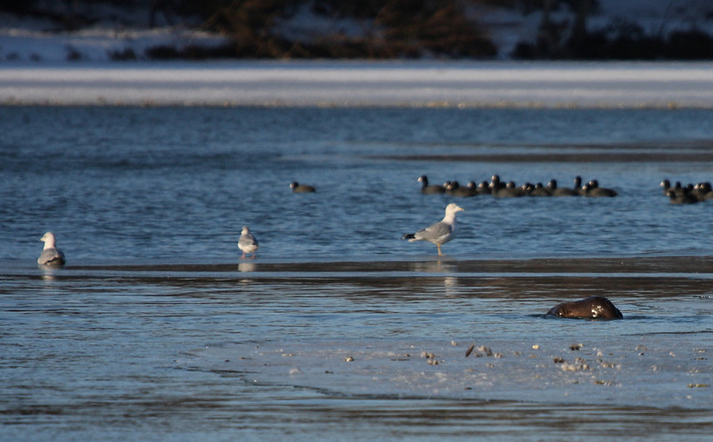 River Otter approaches gulls; American Coots in rear.