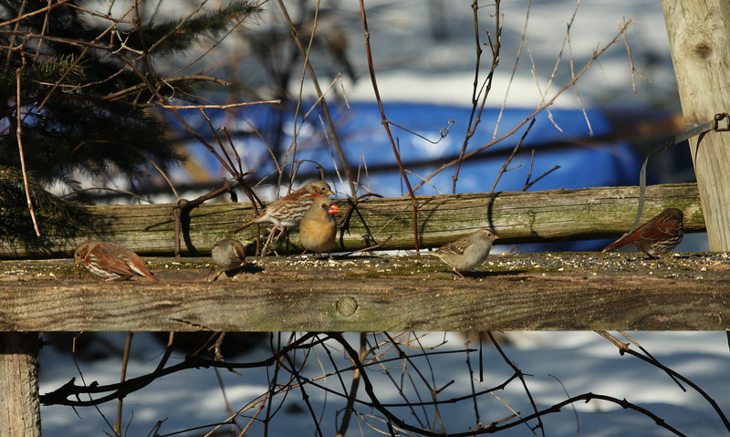 Three Fox Sparrows with two White-Crowned Sparrows and Northern Cardinal<br /> 1/3/10