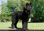 """Janey"" - A Kerry Blue Terrier :"