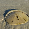 Sand dollar on the move