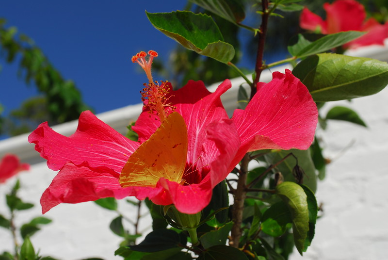 Hibiscus and butterfly