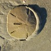 Sand dollar on the move, award winning photo.