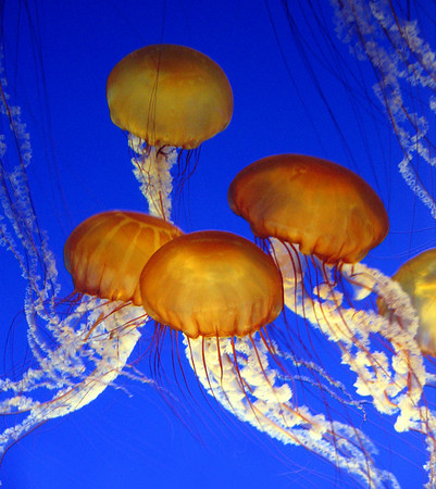 "West Coast sea nettle, Monterey Bay Aquarium.<br /> A common variety of true jellyfish found in the Pacific Ocean (mostly near the coast from California to Alaska).  Not all jellies sting, but the West Coast sea nettle packs a powerful punch. The ""bell"" can grow up to 3 feet and the long and the spiraling oral arms accompanied with the 24 stinging tentacles may trail as far as 12 to 15 feet long.  It hunts tiny drifting animals by trailing those long tentacles and frilly mouth-arms in the current."