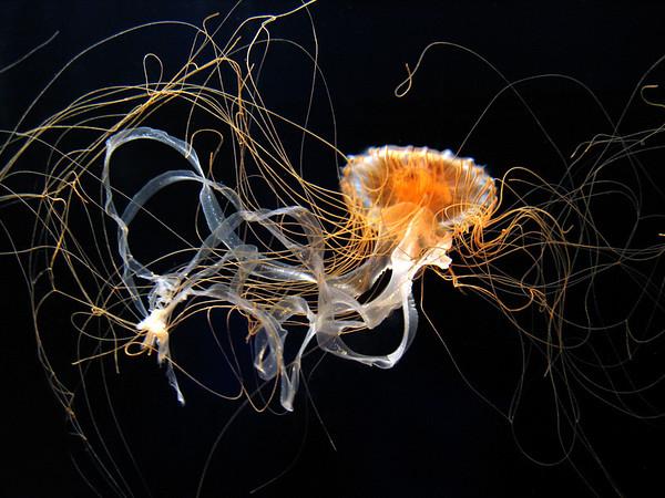 Sea Nettle, Monterey Bay Aquarium.