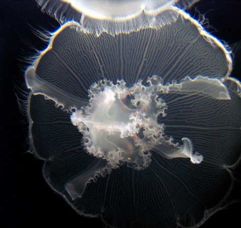 Moon jelly, Monterey Bay Aquarium.<br /> This alien-looking creature is named for its translucent, moonlike circular bell. Instead of long, trailing tentacles, moon jellies have a short, fine fringe (cilia) that sweeps food toward the mucous layer on the edge of the bell. Prey is stored in pouches until the oral arms pick it up and begin to digest it.  Found worldwide in temperate and tropical waters, moon jellies feed in quiet bays and harbors. Although moon jellies have a sting, they pose little threat to humans.