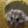 "Jeremy the hamster, November 2010.<br /> <br /> All print proceeds go to SPCA Hong Kong: <a href=""http://www.spca.org.hk"">http://www.spca.org.hk</a>"