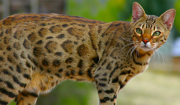 Joe Kidd (F2 Bengal/Asian Leopard Cat)