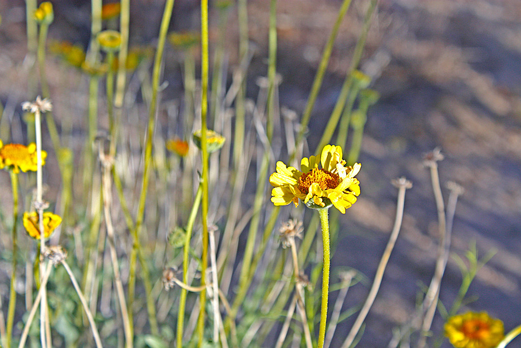 Wildflowers in the Joshua Tree National State Park