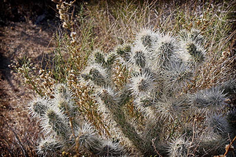 Cholla cactus in the sun in the Joshua Tree National Monument.