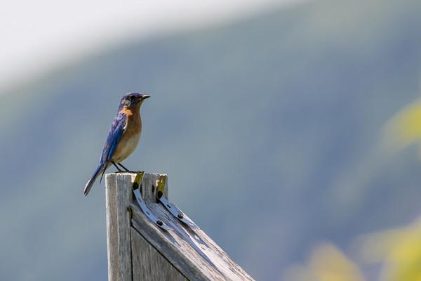 July 1st 2018 Blue bird cape chignecto