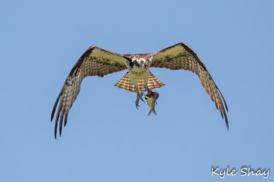 June 25th 2015 Osprey Hartlen Point
