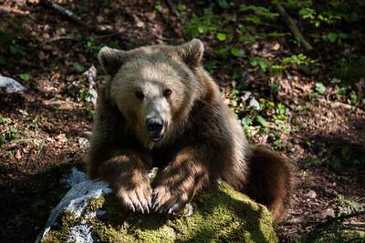 Berner Bär II - vermutlich Ursina