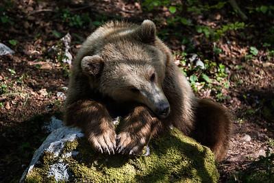 Berner Bär, vermutlich Ursina