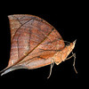 the strange and beautifully camouflaged leaf butterfly.  Isolated against a white background