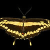 the giant swallowtail butterfly. Isolated against a white background