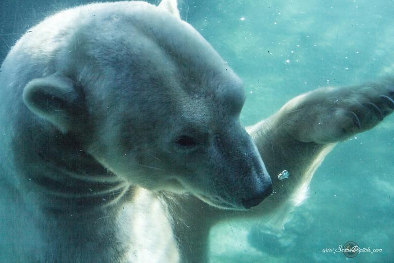 IMAGE: http://www.seansdigitals.com/Animals/Just-Polar-Bears/i-Vg9Kq5q/0/L/PB-9-L.jpg